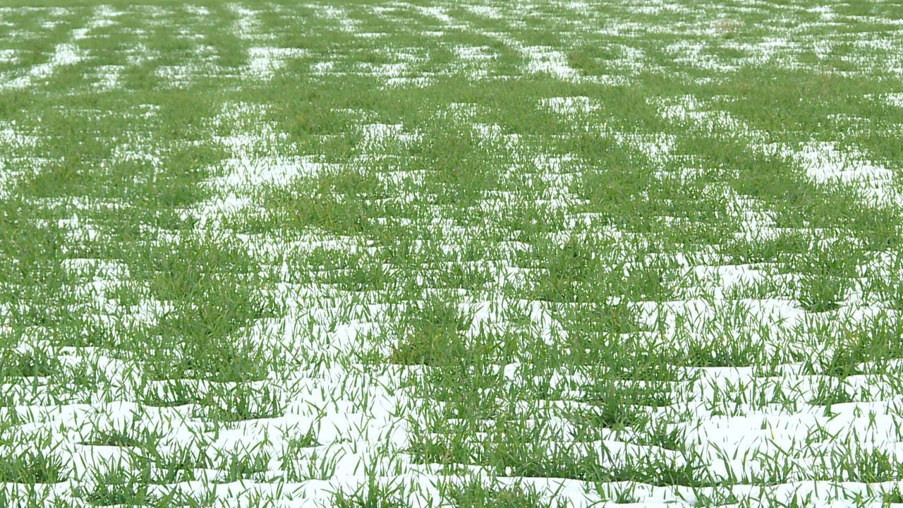 Без защиты снежного покрова остаются озимые культуры на полях региона